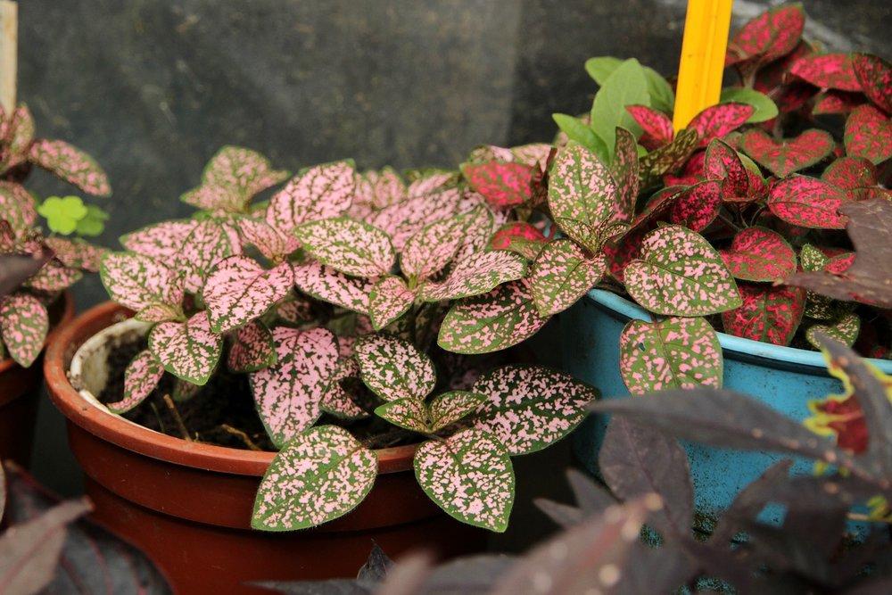 polka+dot+plant+hypoestes.jpg