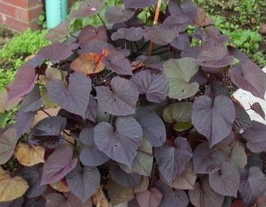purple sweet potato vine wiki.jpg