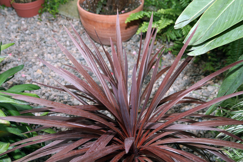 cordyline australis red sensation wiki.jpg