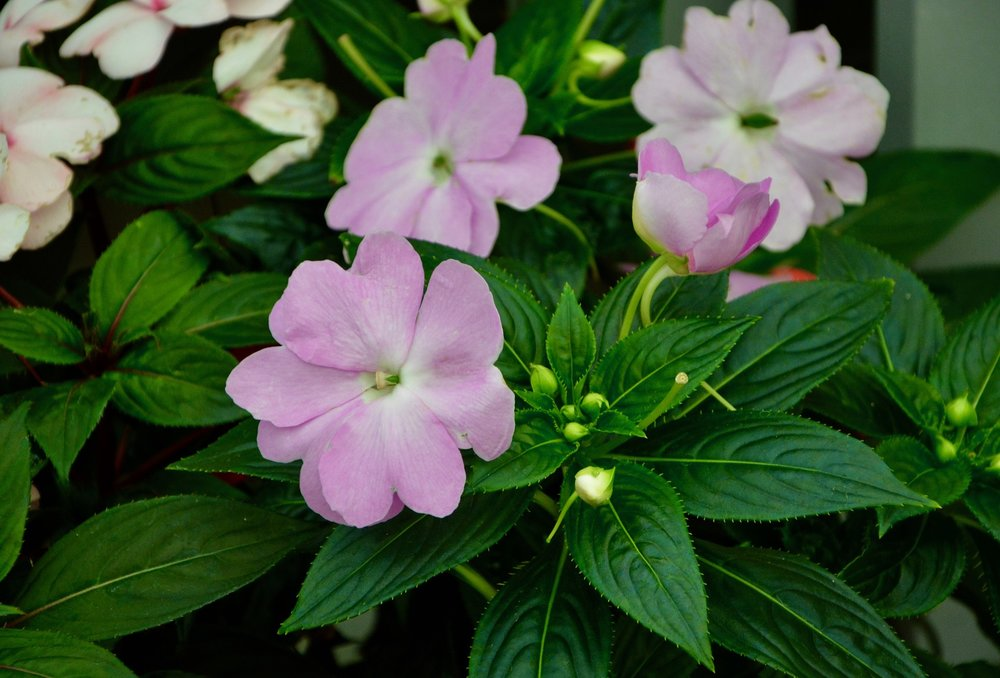 Annuals for Shade - While there may not be as many options for shade as in sun, shade annuals are a great way to brighten up dark spaces.
