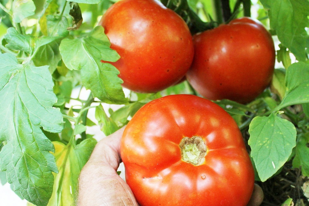 Growing Tomatoes - Ah, home-grown tomatoes. They are one of the most anticipated joys of summer and nothing tastes quite like them!