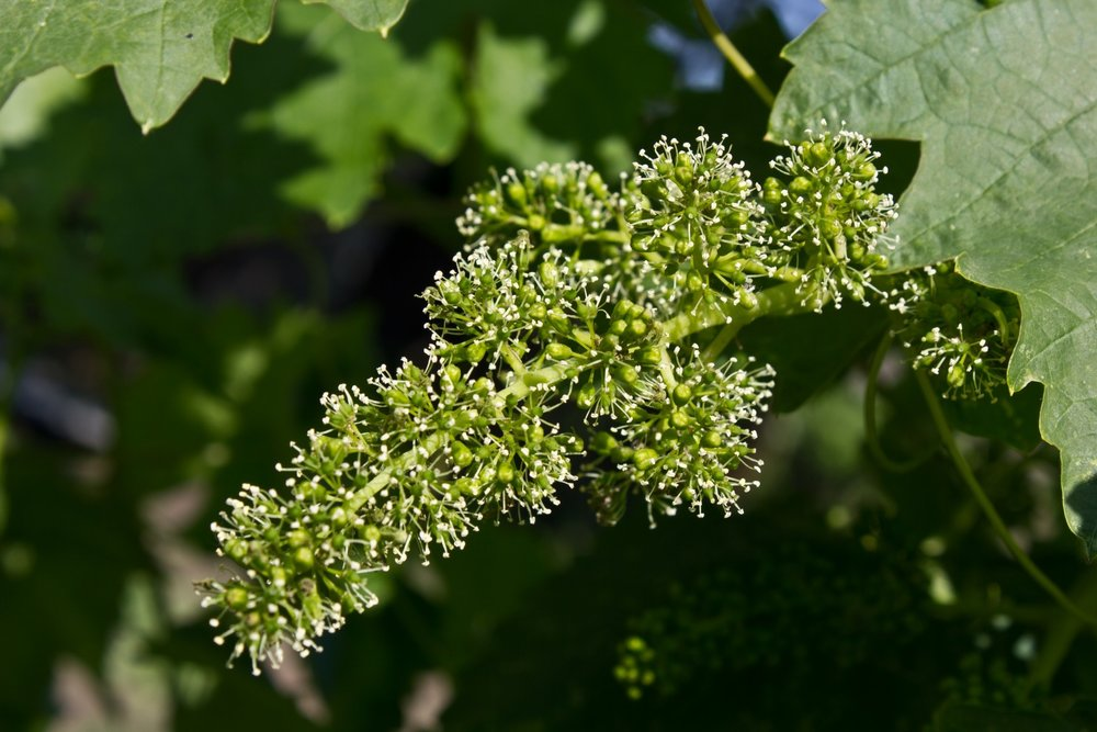 La floraison est une des étapes clé du cycle végétatif de la vigne, elle dure très peu de temps...