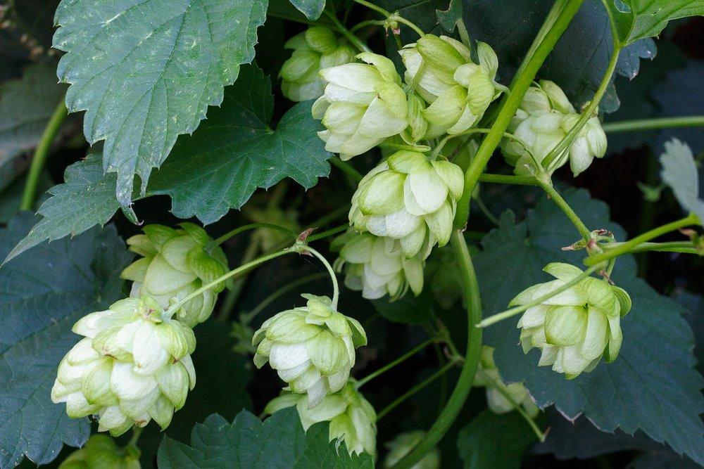 Le houblon :  Ce sont les plants femelles qui produisent les cônes de houblons. Contenant de la résine, il est utilisé dans la fabrication de la bière pour son amertume, ses arômes (citron, fleurs, fruits...), ses vertus aseptisantes et conservatrices.
