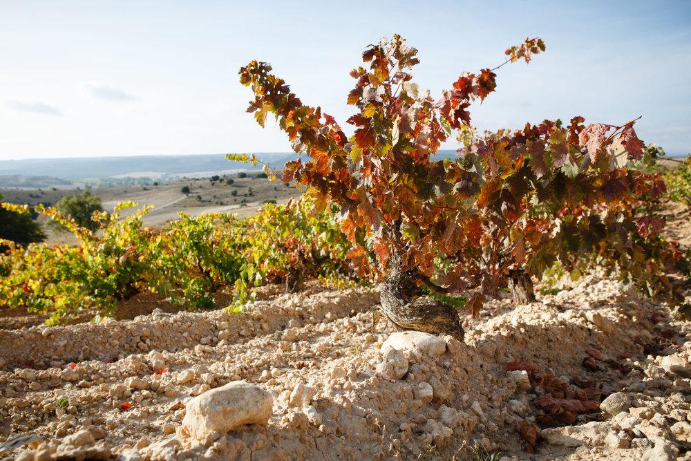 Fotografia de vino La Vendimia en Ribera del Duero Toro y Rioja Alavesa - James Sturcke  Photographer | sturcke.org_009.jpg