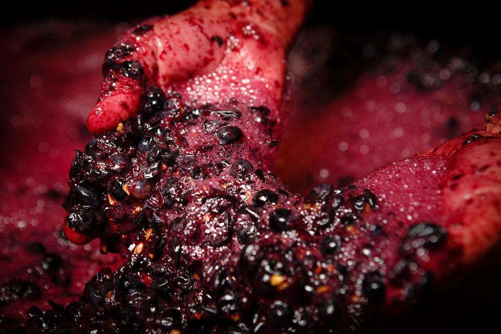 Wine Photography Grape Harvest in Ribera del Duero Toro and Rioja Alavesa Spain - James Sturcke  Photographer | sturcke.org_003.jpg