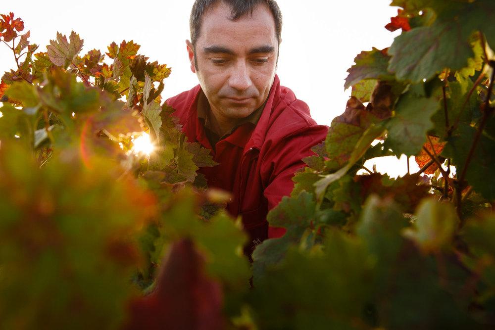 Wine Photography Grape Harvest in Ribera del Duero Toro and Rioja Alavesa Spain - James Sturcke  Photographer | sturcke.org_008.jpg