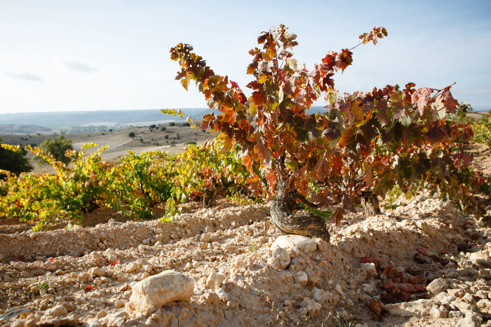 Wine Photography Grape Harvest in Ribera del Duero Toro and Rioja Alavesa Spain - James Sturcke  Photographer | sturcke.org_009.jpg