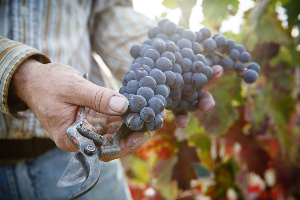 Wine Photography Grape Harvest in Ribera del Duero Toro and Rioja Alavesa Spain - James Sturcke  Photographer | sturcke.org_011.jpg