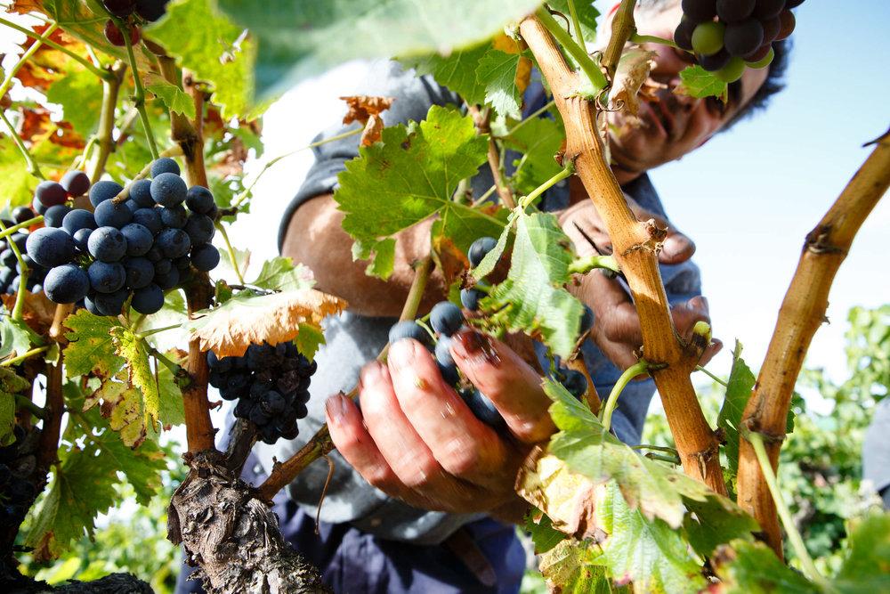 16/10/13 Vendimia, Bodegas San Pedro Apostol, Huércanos, La Rioja, España. Foto de James Sturcke Fotografía | www.sturcke.org