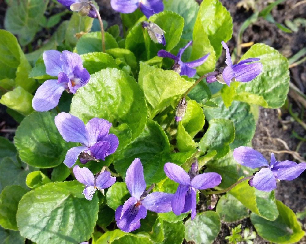 gallery-spring-violets.jpg