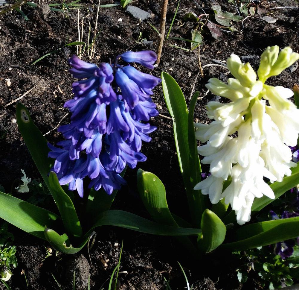 gallery-spring-hyacinthblue.jpg