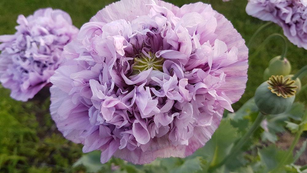 gallery-summer-lilacpoppy.jpg