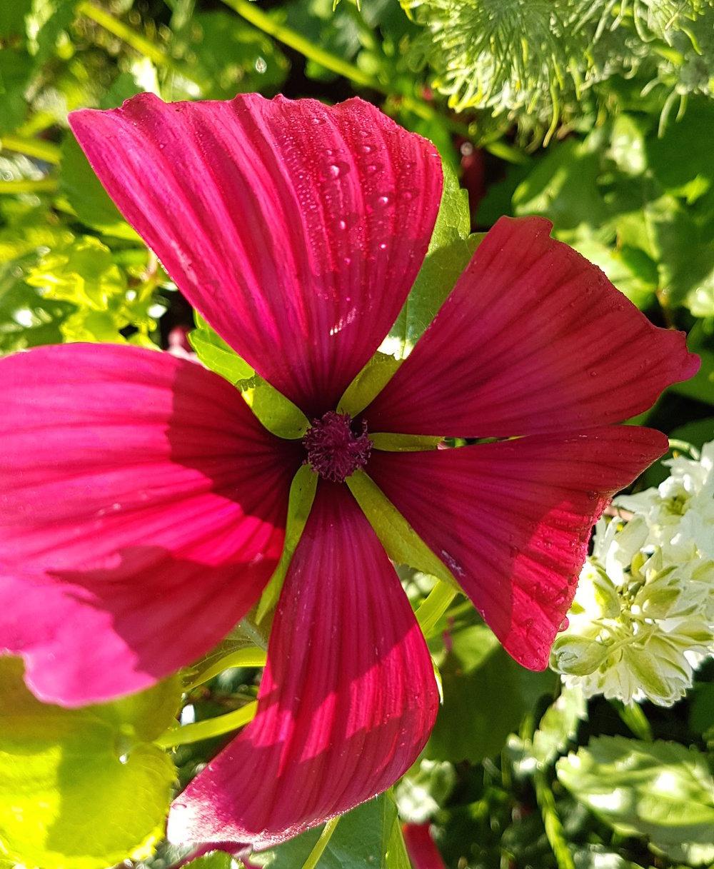 gallery-summer-malope.jpg