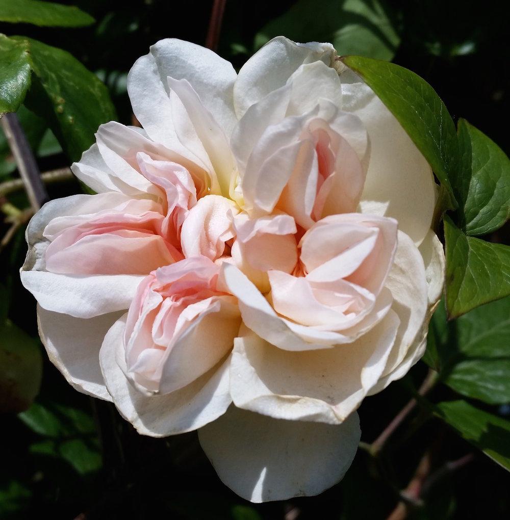 gallery-summer-roseearlypink.jpg