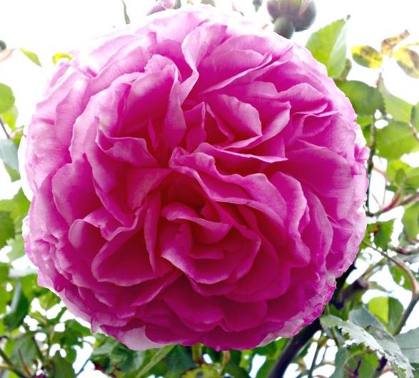 gallery-summer-rosedarkpink.jpg