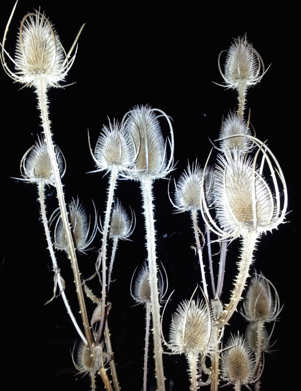gallery-autumn-teasels.jpg