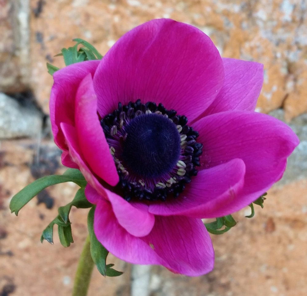 Our anemones are available from approximately April until June and come in a range of colours frompale lilacs and blues to dark pinks ad burgundy.
