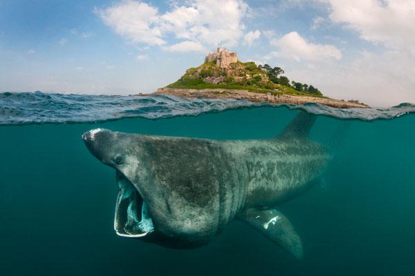 Alex_Mustard_B_600 Basking Shark at St Michael's Mount.jpg