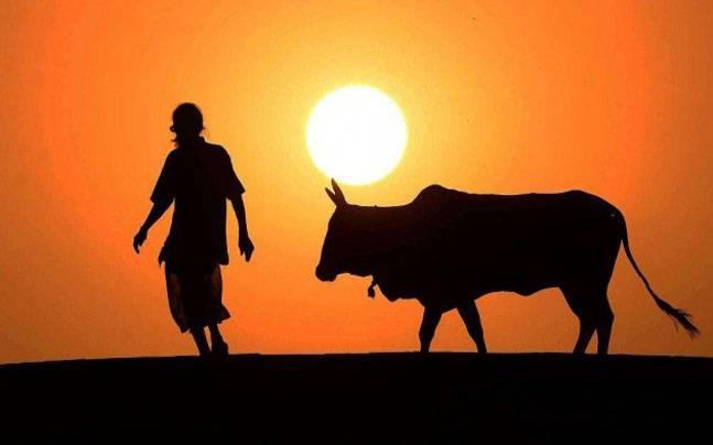 cow harsh.jpg