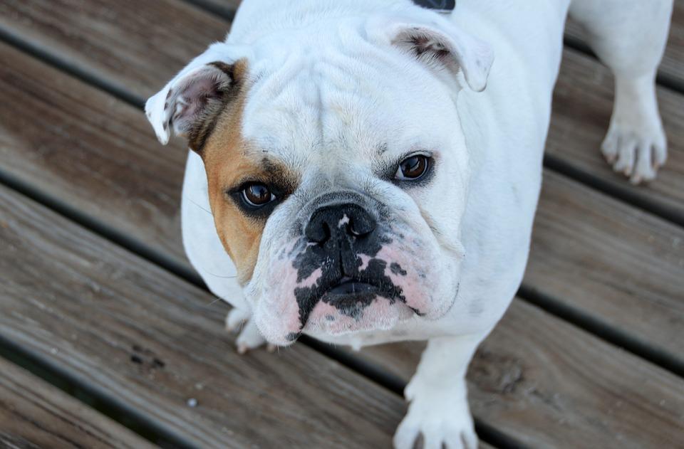 Bull Dog Staring.jpg