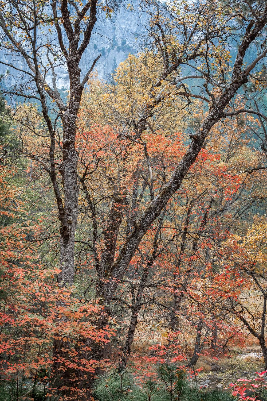 Autumn Dogwoods (5874)