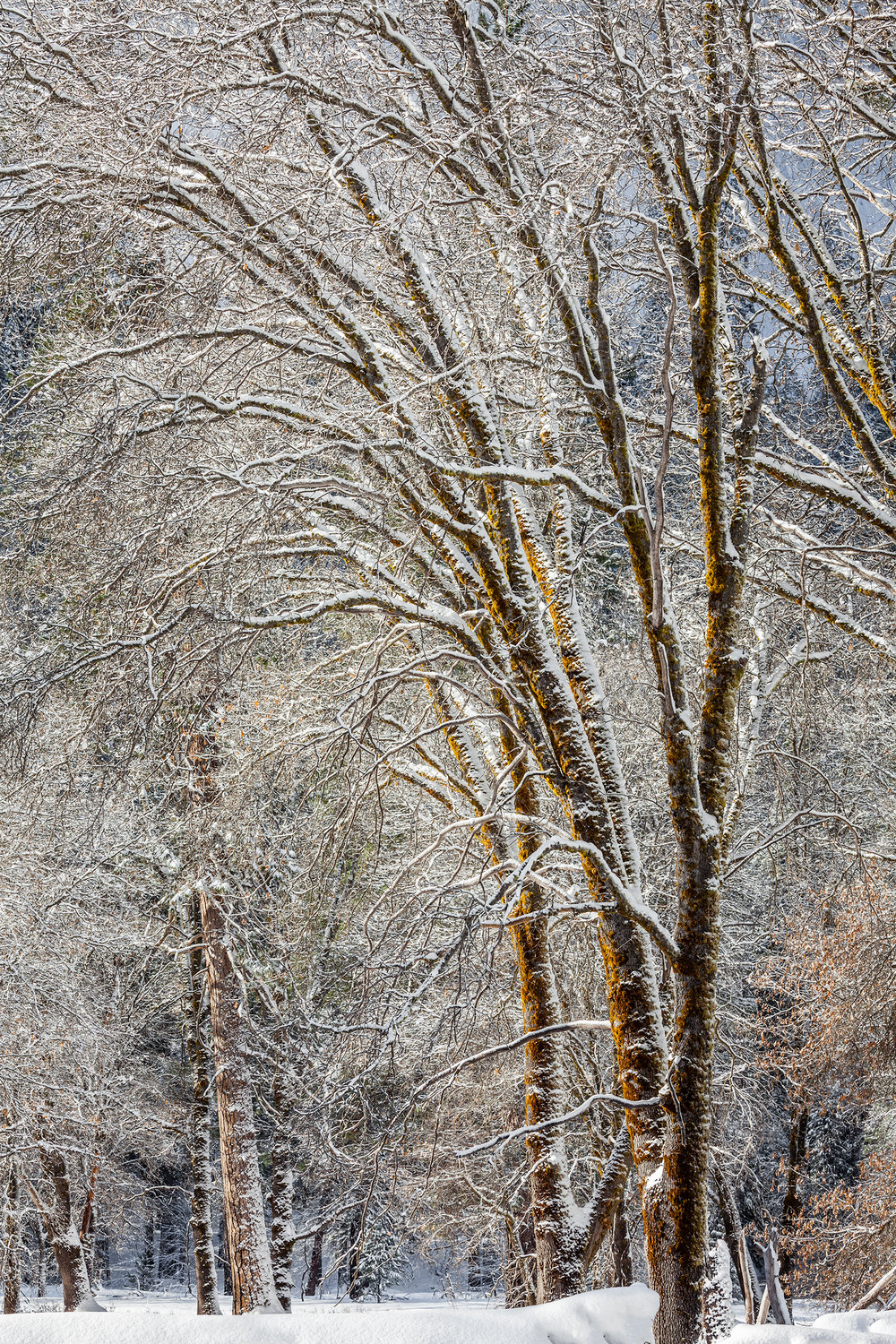 Black Oaks & Snow (9501)