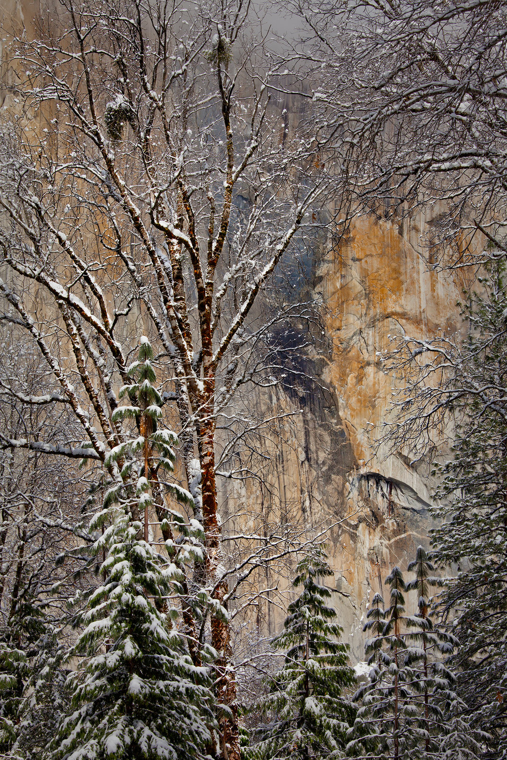 El Capitan Through the Trees in Winter (9732)