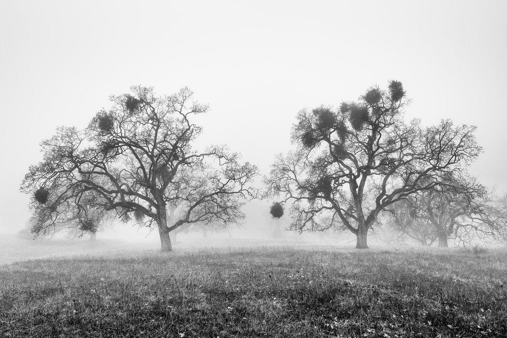 Oak Trees in Fog Study 2 - Joseph D Grant Park (1786BW)