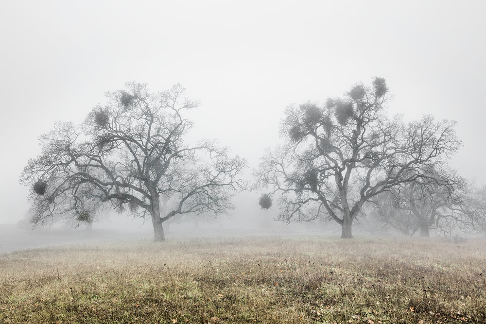 Oak Trees in Fog Study 2 - Joseph D Grant Park (1786)