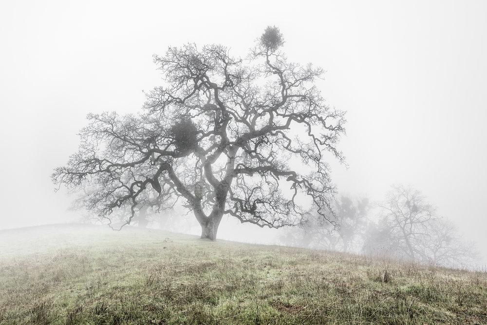 Oak Trees in Fog Study 1 - Joseph D Grant Park (1796)