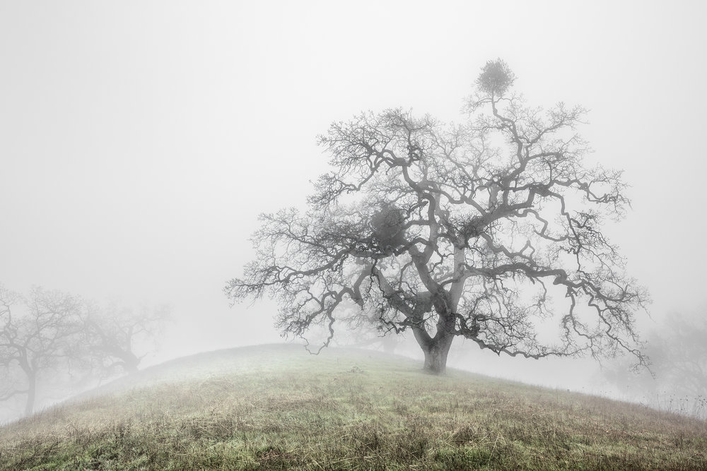 Oak Trees in Fog Study 3 - Joseph D Grant Park (1813)