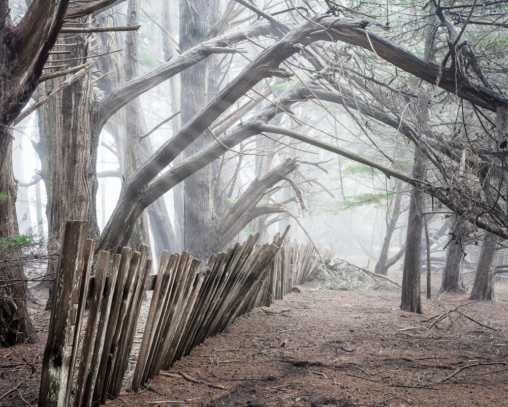 Cypress Trees Fence in Fog - Sea Ranch (4066)