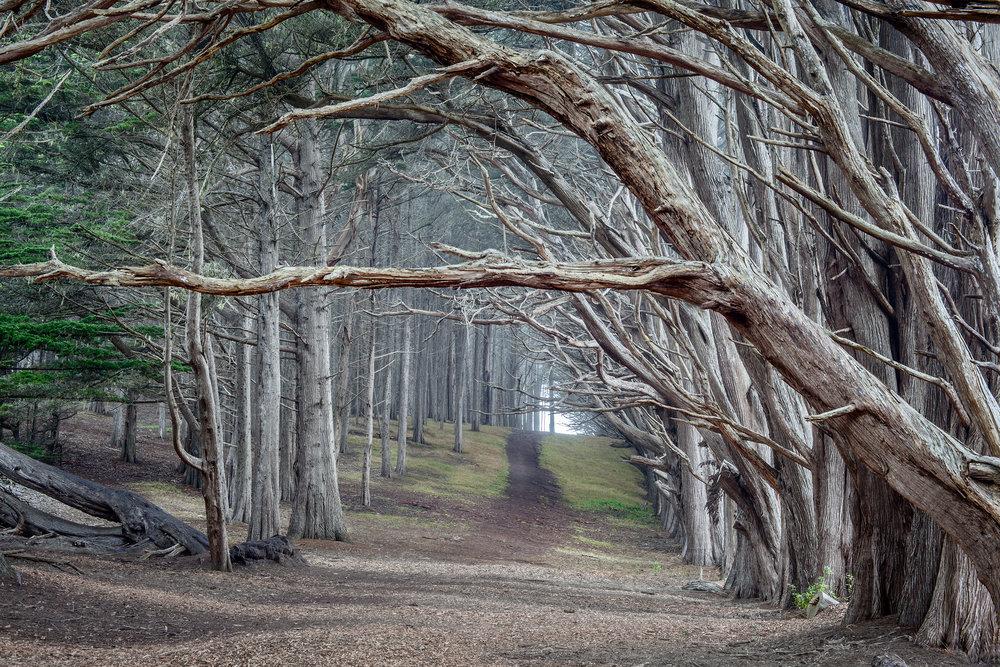 Moss Beach Cypress Trees - Fitzgerald Marine Reserve (4814)