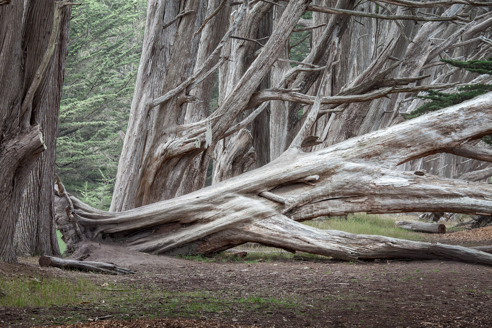 Fallen Cypress Tree - Moss Beach (8875)