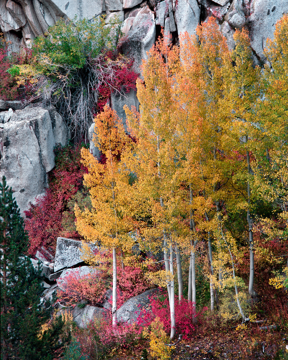 Aspen Trees in Fall - Bishop Canyon (317)