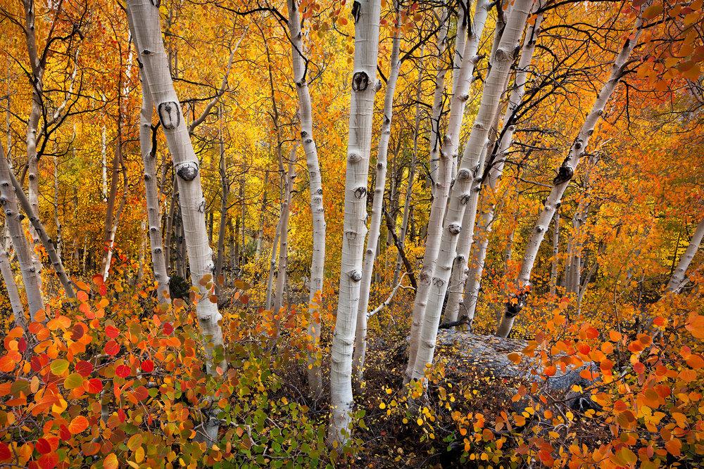 Eastern Sierra Nevada Fall Color (5920-22)