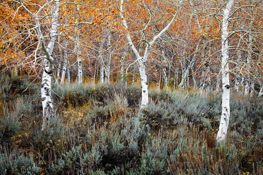 Aspen Grove - June Lake  (8476)