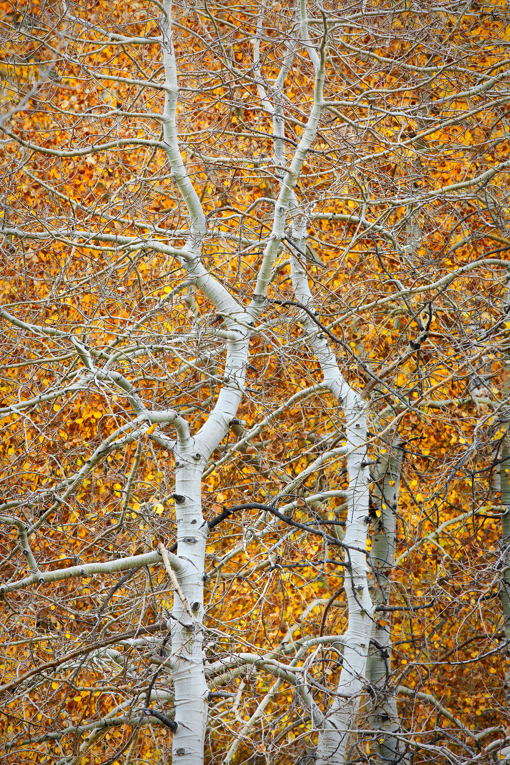 Dancing pair of Aspens - June Lake (8548)