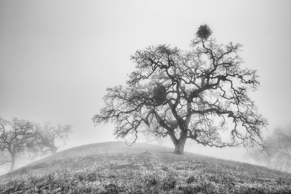 Oak Trees in Fog Study 3 - Joseph D Grant Park (1813BW)