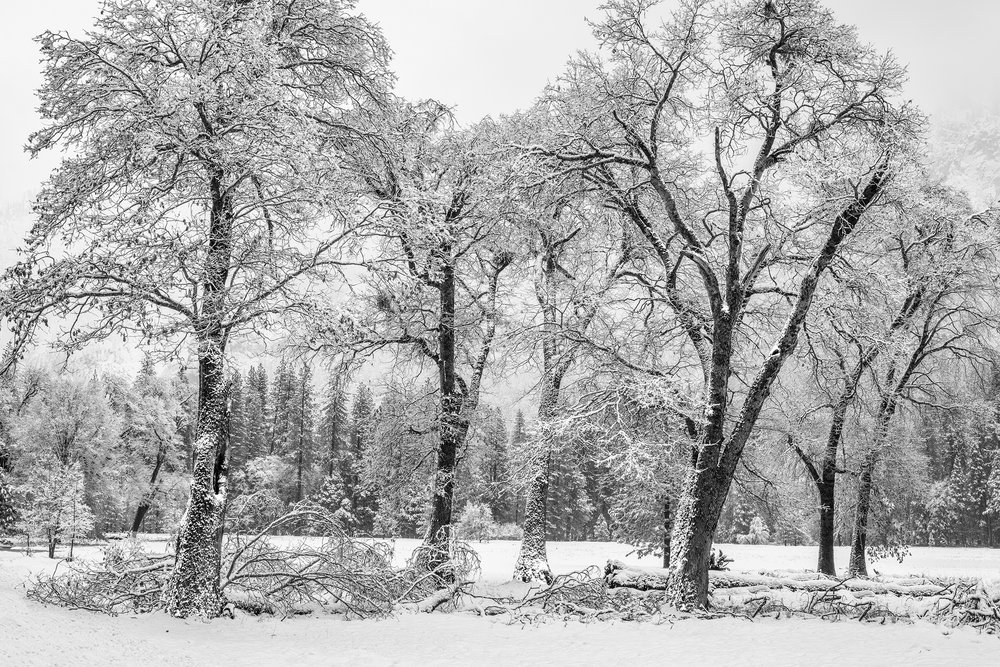 El Capitan Meadow Oaks in Snow (4568-71BW)