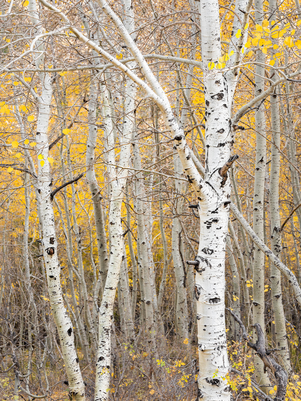 June Lake Aspens (1700)