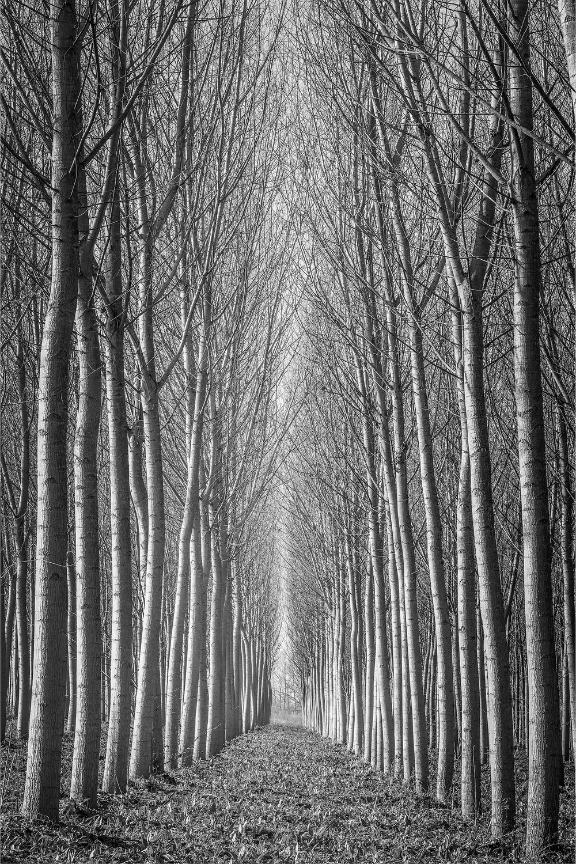 Poplar Tree Study - Emilia Romagna (2655)