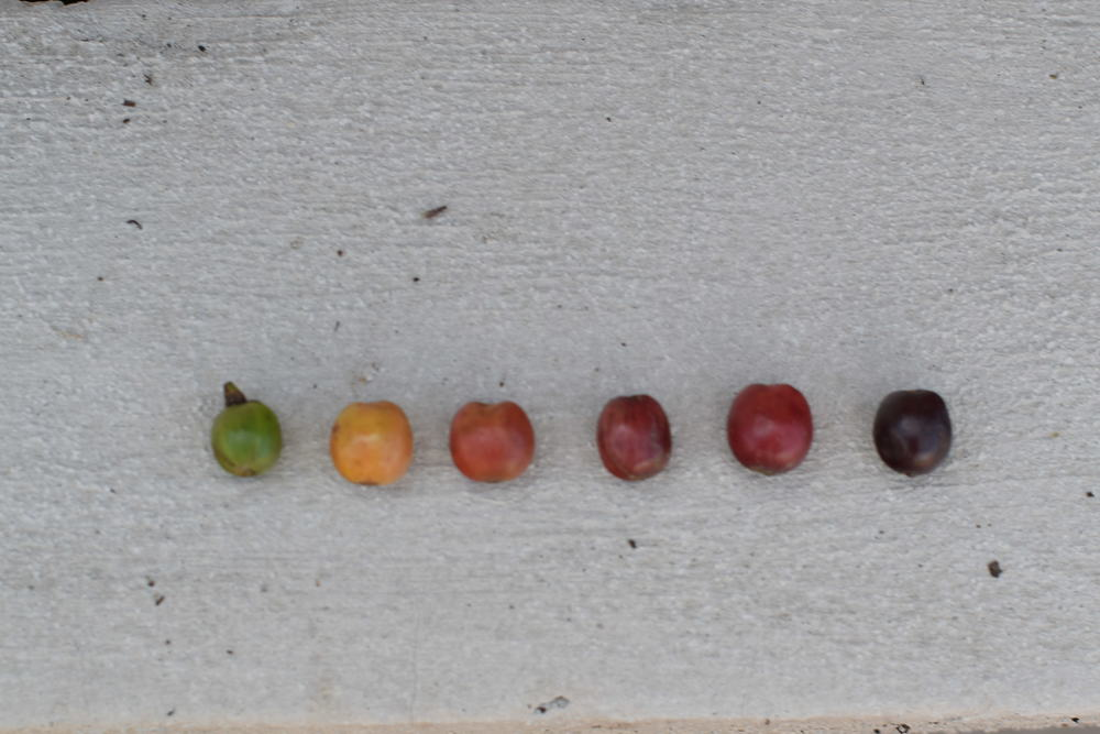 stages+of+ripeness2.JPG
