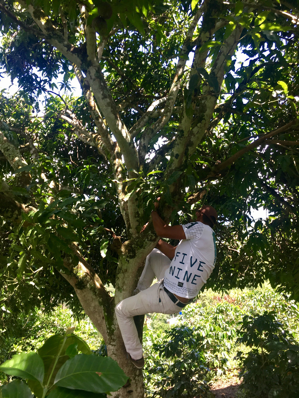 Jose Gomez, founding member of Cooperativa de Cafés Especiales de Nariño, climbing a mango tree that shades his coffee farm, El Paraíso.