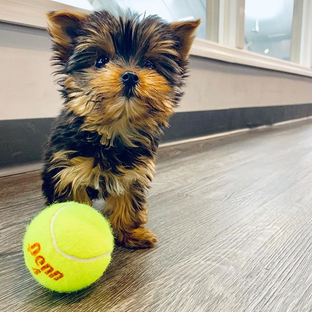 Introducing our newest ball girl. And office pal.  Welcome to the MHfam Stella!  _ #furbaby #tennisball #fluffball #MHmascot #tennisdogsofinstagram #tennisballgirl #tennisrunsinourblood #tennis #tennisisoursport #njdogmoms #fortheloveofthegame #gardenstateleague  #newjerseyblogger #summitnj #shorthillsnj #newprovidencenj #springfieldnj #happyplace #springtennis