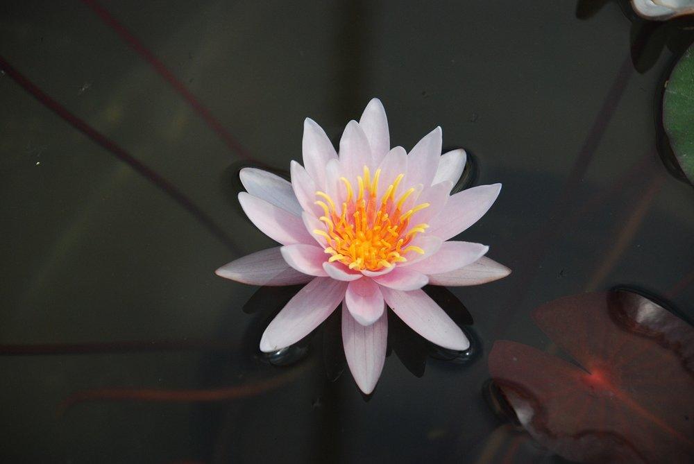 lily-1513998_1920.jpg