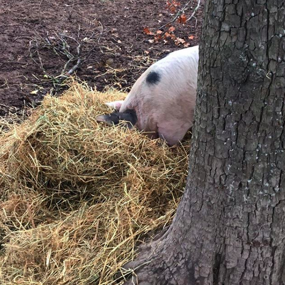 Nov 2, 2017 - Burying her head in the straw to root for goodies that I hid amongst it. Pigs need stimulus and manipulative material and research has shown that in their natural environment they spend 75% of their daylight hours in activity – rooting, foraging and exploring. You can imagine why if they don't have this, they'll start to bite each other's ears and tails. They're bored and frustrated. Although we don't let our pigs roam wild and free, the space they are in is filled with sawdust, straw and branches so they can do what is most natural. Happy pigs!