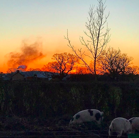 Jan 7, 2018 - The three (not so little) pigs snuffling around as the sun goes down on a beautiful crisp Sunday. I'm sure tomorrow is going to be one of my least happy days on this journey, but this is what it's all been leading to. Without this part, the rest is obsolete. Without all the learning and fun and joy from these tiny piglets, that have grown into hilarious pigs, I would not be experiencing all the feelings that I am feeling right now. And these are the right feelings to have. It shouldn't be easy. I think I'd rather feel this emotional, this much care and love, every single time, than become hardened to the process and forget that these are living, sentient beings. Because it is all too easy to forget that when you sit down to eat a piece of meat.