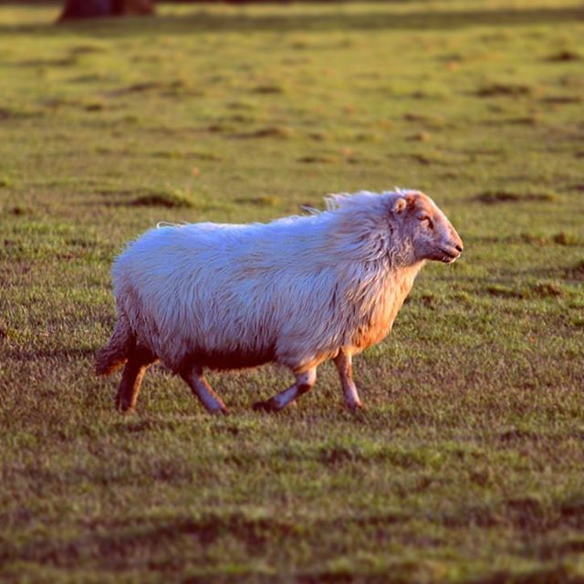 A couple of days before we took the pigs I went out with my camera to get a final few snaps of them snuffling around. As I walked across the orchard, this little sheep caught my eye as it trotted across the field. It just looked so majestic, basking in the glow of the gentle afternoon sun. We should all remember to bask in the sun, and take in little moments of glorious calm. I need to get better at stopping to absorb everything I achieve, rather than constantly just moving onto the next goal. Goals are only good if you can bask in the glory of the achievement! So my aim for the week is to be like this little sheep, taking the time for the little moments of gloriousness, regardless of how small they are!