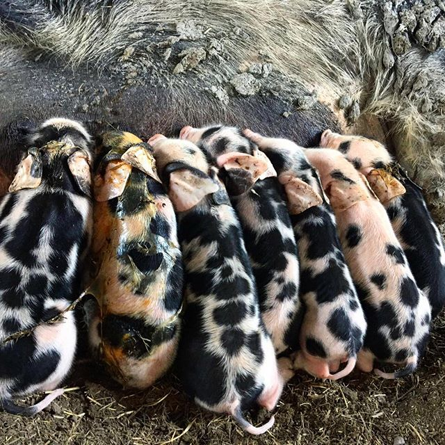 Whatever you're doing right now, STOP and take stock of everything. Life is AMAZING. As I was reminded today your strength isn't evident when life is happily bumbling along. Your strength is shown when times are that little bit tougher. These piglets being born in Sweden last year, I took for granted. I loved seeing the piglets so young but I didn't really appreciate everything this gorgeous sow had been through. For her, although totally natural, birth is no laughing matter. Often it's things we breeze through, because we have to, that we then look back on and realise everything that we've done. These piglets were a miracle. To see them being born was utterly wondrous. Last year was a huge year of firsts and planning the rest of this year now fills me with even more excitement when I think through all that I experienced in 2017. Another pearl of wisdom from today - life is always moving forward, so it's no use looking through the back windscreen!